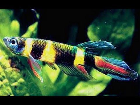 Epiplatys annulatus ( Rocket / Clown Killifish ) - Breeding group for ...