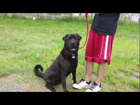 Displaying (20) Gallery Images For Shar Pei Black Lab Mix...