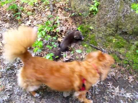 Baby Fisher ( Fisher Cat ) - Found Injured on Trail - YouTube