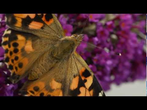 Painted Lady Butterflys in close up (macro)
