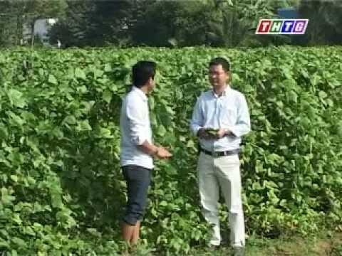 Cây lành trái ngọt: Chuyên canh mô hình trồng rau màu mẫu lớn ở Châu Thành, Tiền Giang