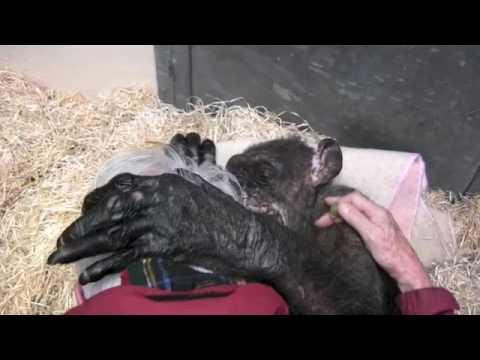 59- годишното шимпанзо Мама одбиваше да јаде и се откажуваше од животот,  сѐ до моментот кога ја посети нејзиниот стар пријател