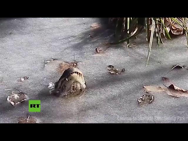 Caimanes se quedan 'incrustados' en el hielo en el infierno invernal