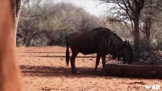 Crazy Wildebeest Bow Hunting in Africa