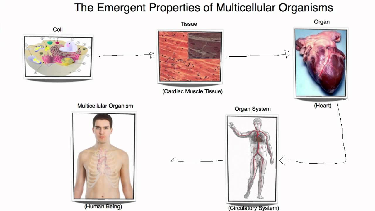 examples of emergent properties Bureaucracies provide examples of emergent properties in human social systems one emergent property is that bureaucracies are not very effective at dealing with unusual situations this is because bureaucracies use standard operating procedures to operate efficiently on a large scale.