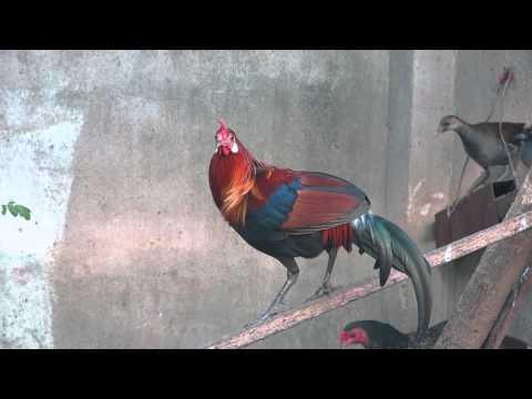 Các loài chim Việt Nam - Gà rừng