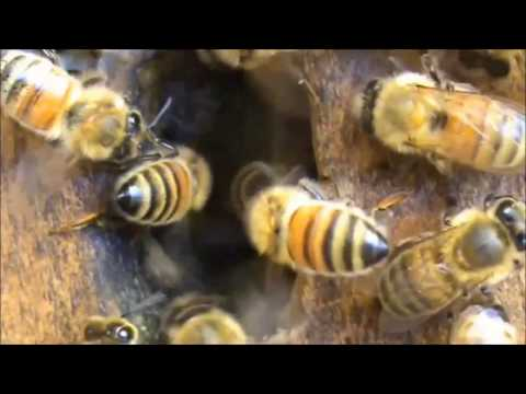 Beekeeping: Bees Washboarding & Fanning During Hot Weather.