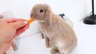 Meet Marshmallow My Adorable Holland Lop Bunny