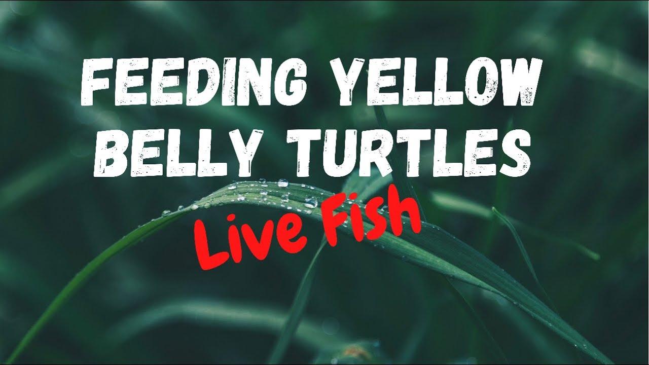Feeding baby turtles live fish - YouTube