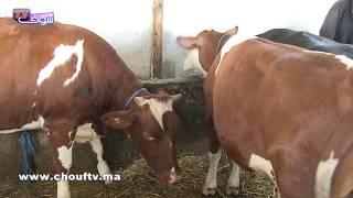 الأبقار تنافس الأكباش في عيد الأضحى.. شوفو كيفاش | روبورتاج