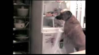 Anjing ini belajar bagaimana membuka kulkas