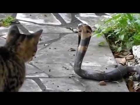incrivel, gato atacando cobra