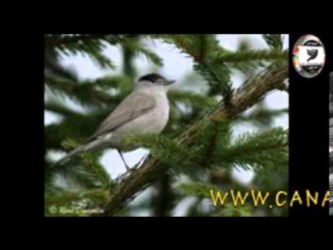Sam Abdul - Eurasian Blackcapفيديو تغريد طائر