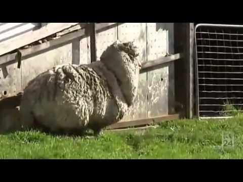 اغرب خروف في العالم