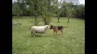 German Shepherd Dog And Sheep Playing