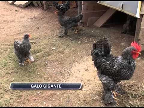 29-05-2013 - GALO GIGANTE - ZOOM TV JORNAL