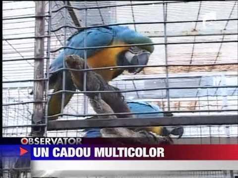 Papagalii un cadou multicolor 20 DECEMBRIE 2011