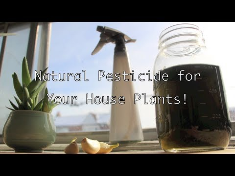 Natural Pesticide for Your House Plants!