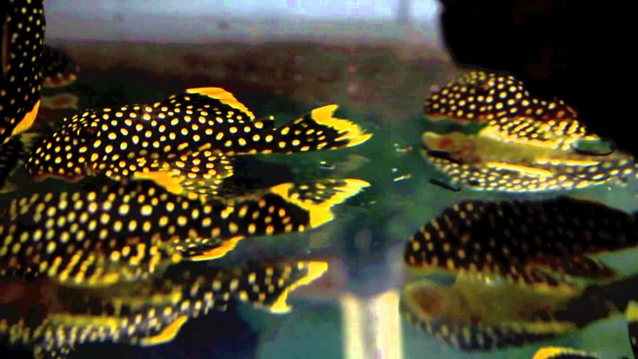 L018 Golden Nugget Pleco (Large spots) - YouTube