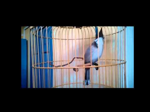 Tiếng hót chim chào mào trống gọi mái tập hót luyện giọng cực hay