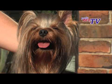 Video zu Yorkshire Terrier