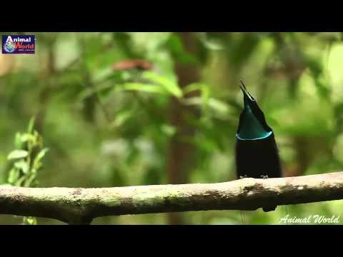 Vũ điệu hoang dã của chim thiên đường - những tuyệt phẩm thiên nhiên