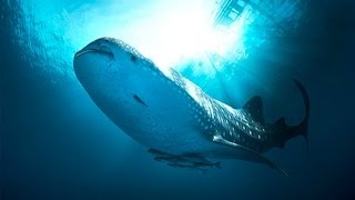 Diving With Whaleshark Nabire Papua Indonesia [HD] The