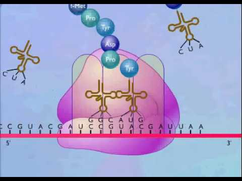 protein synthesis animation Protein synthesis is a series of chemical reactions in which molecules are  view  the animation below, then complete the quiz to test your knowledge of the.