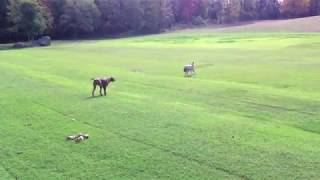 狼を警戒する犬。人形とわかった途端、いつものように大はしゃぎ