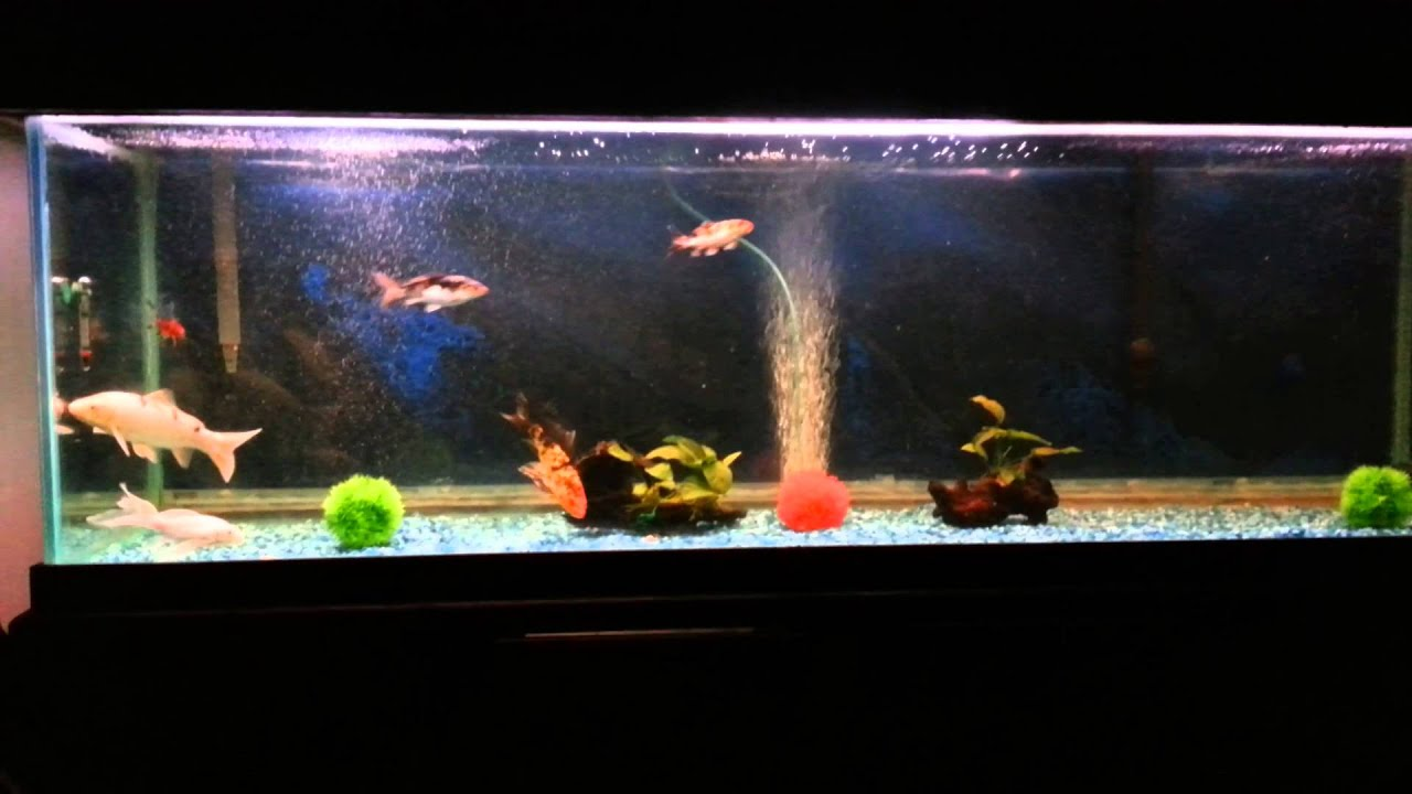 Koi fish tank youtube for Butterfly koi fish aquarium
