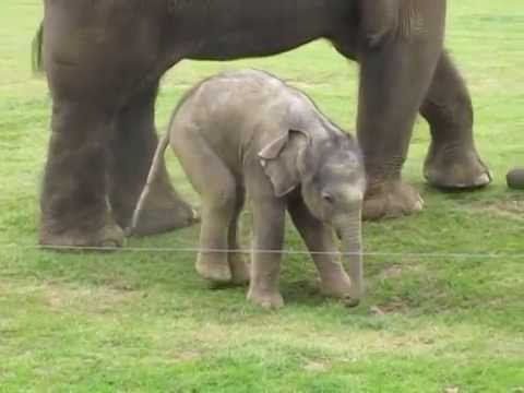 Cute baby elephant's first steps -and steps on his trunk! Hilarious video!