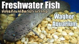Freshwater fish, Waghor Aquarium