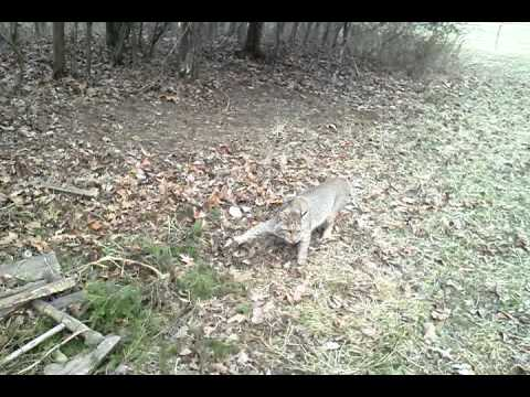 Bobcat trapping with David Williams February2014