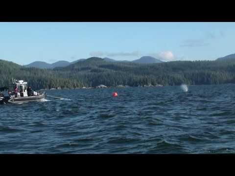 Freeing humpback whale entangled in fishing gear