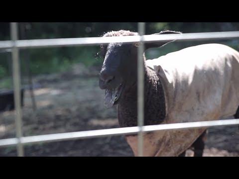 The Screaming Sheep(5)