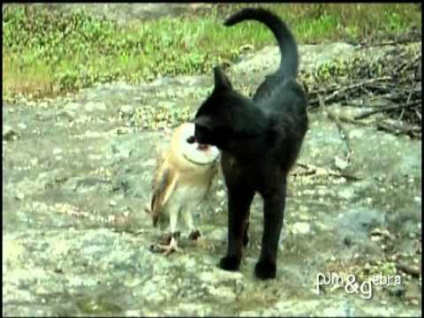 Cat and owl playing - Fum & Gebra - Perfect friendship!, Like us on FB! http://fb.com/fumandgebra Another option for the people does'nt like this song, with love: http://www.youtube.com/watch?v=WWadk4WoRx4 Fum & Ge...