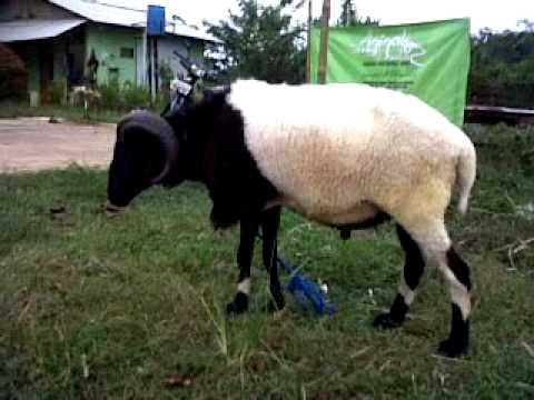 Si Bima Saung Domba