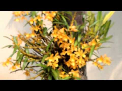 Orchids on trees, Dendrobium, Flowers, Garden, Natural Beauties,