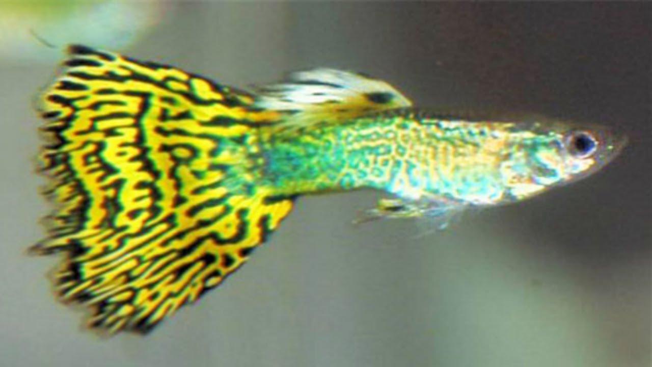 Baby guppy fish bowl - YouTube