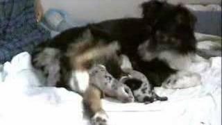 Whelping Puppies Birthing DVD. Pregnant Dog Having Puppies