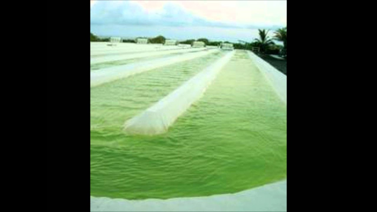 research paper algae biodiesel