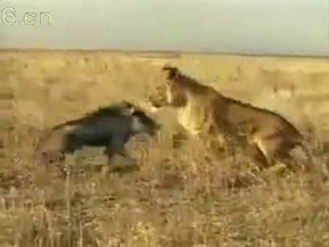 Wild Boar vs Lion