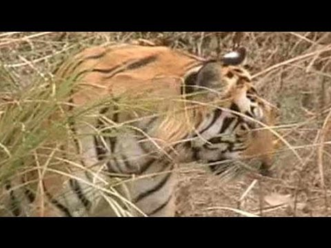 The man eating Tigress of Bijnore
