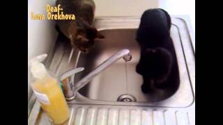 [Cats drink tap water] Video