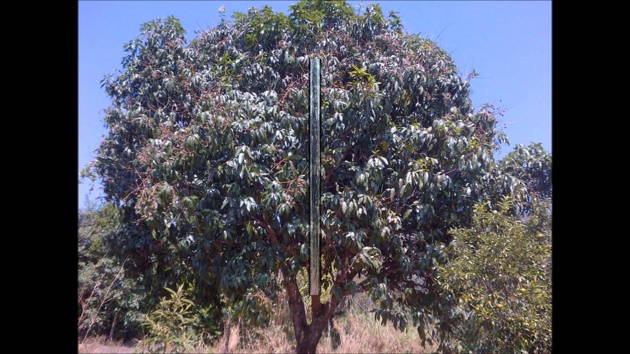 Arboles de mango frutales youtube - Plantar arboles frutales ...