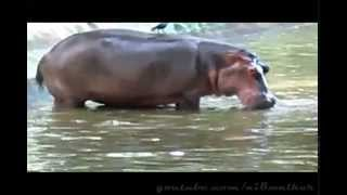 [funny video --hippo and her baby  (calf)]