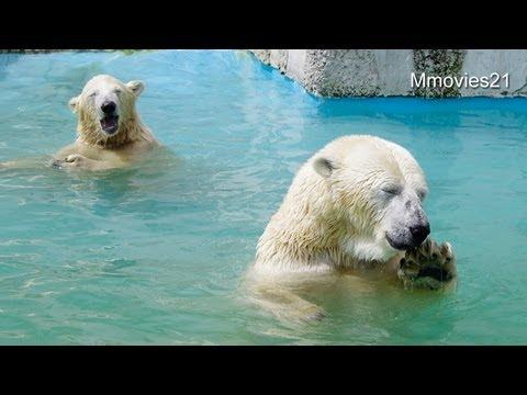スイカの独り占めはダメよ〜Polar Bears eat watermelon