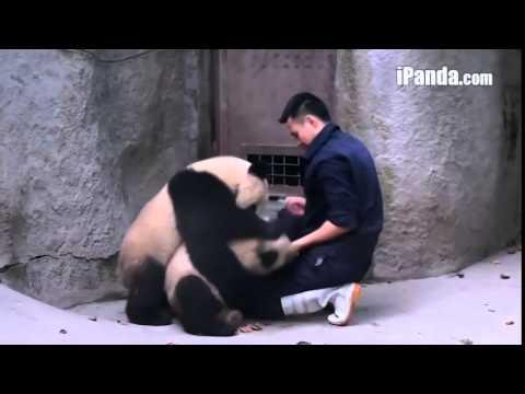 Hai chú gấu trúc vật nhau với nhân viên vườn thú
