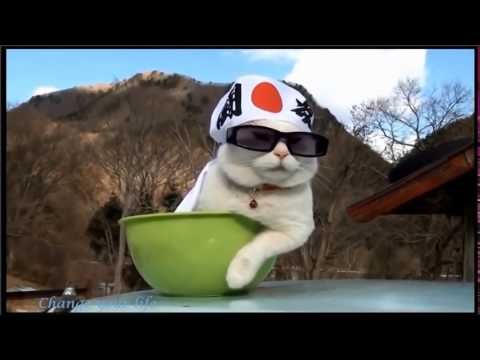 Try not to laugh - Funny cat