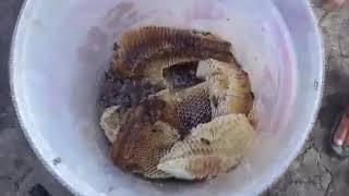 Thanh niên tay không hái tảng mật ong khủng thu về hơn 5lit mật